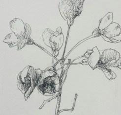 Pinksterbloem, fineliner in schetsboek, 2017