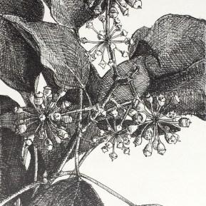 Hedera, fineliner op papier, 15x13 cm, 2019