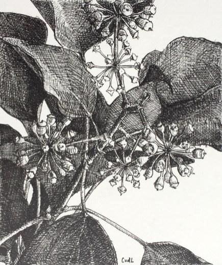 Hedera, fineliner op papier, 13x11 cm, 2019