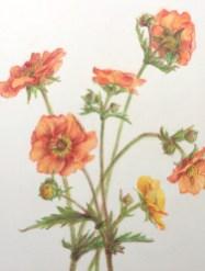 Nagelkruid, kleurpotlood op papier, 14x10 cm, 2019