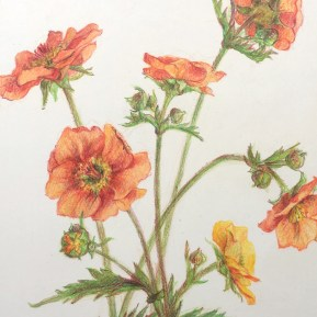 Nagelkruid, kleurpotlood op papier, 14x10 cm, 2019 [particulier bezit]