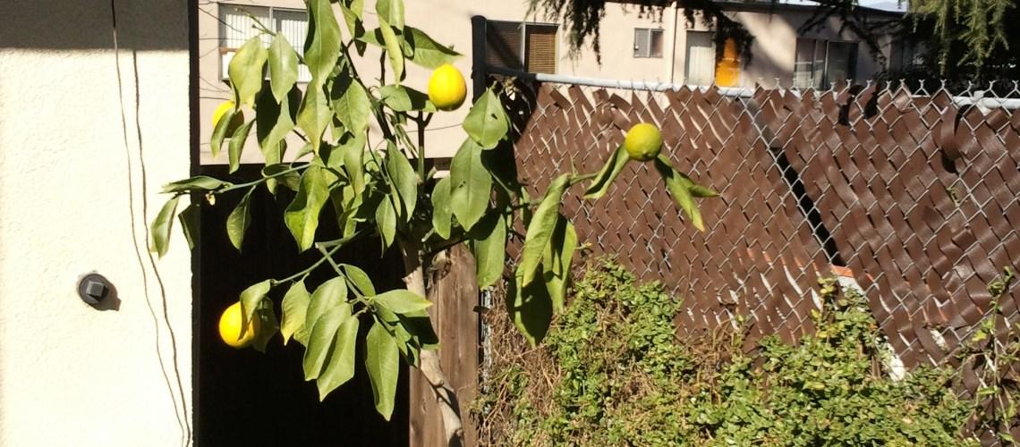 Droopy Lemon