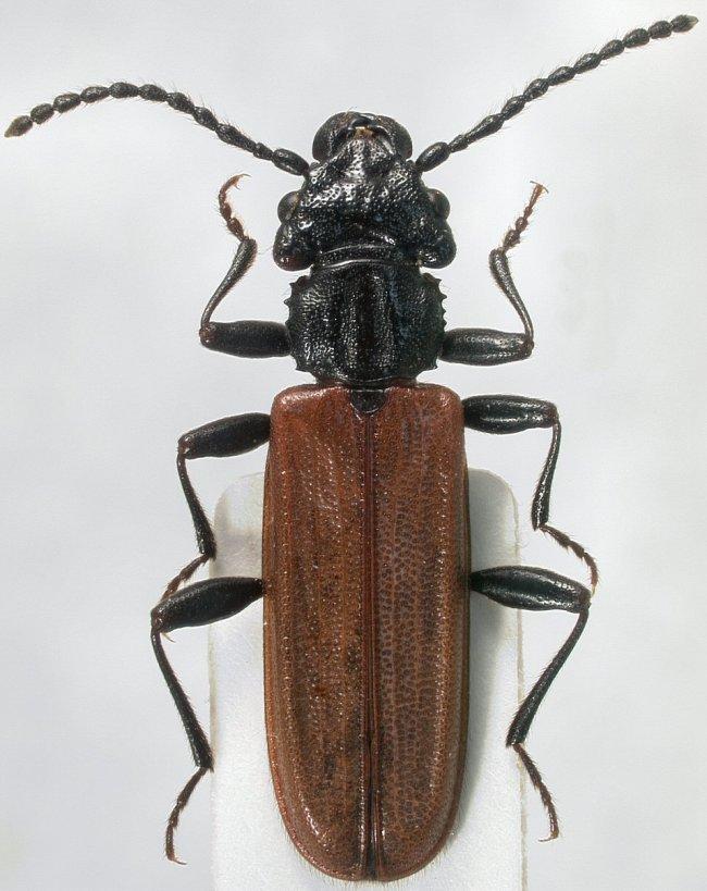 Red flat bark beetle