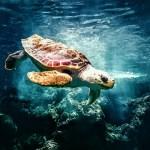 turtle-in-ocean