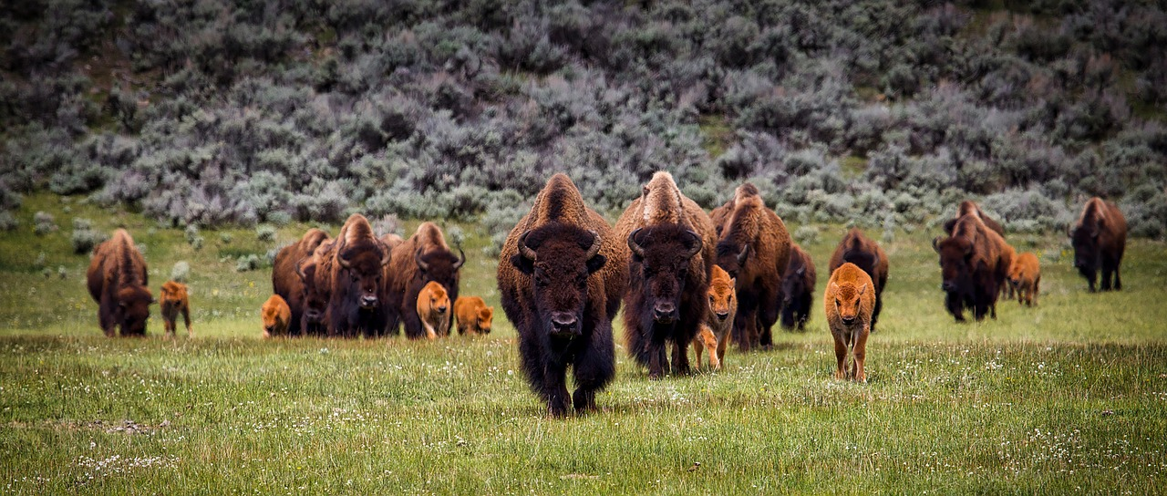 buffalo-group