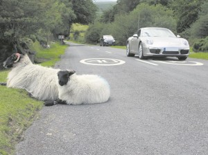 The sheep on Dartmoor weren't very concerned about speed limits.
