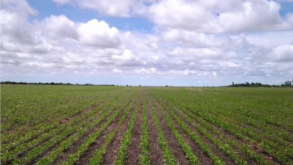 La soja de segunda viene atrasada en su desarrollo en muchas zonas.