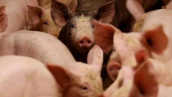 El consumo de carne de cerdo trepó por la crisis del ganado vacuno.