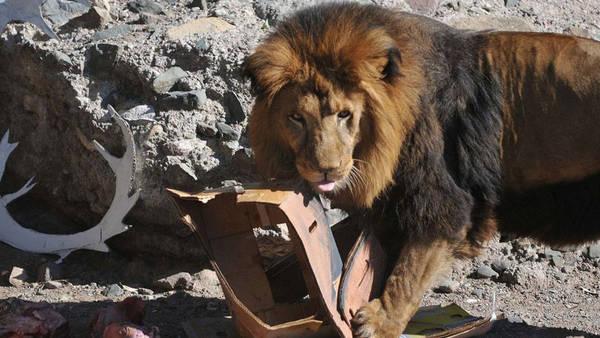 Murió otro león en el Zoológico de Mendoza.  (Archivo diario Los Andes)