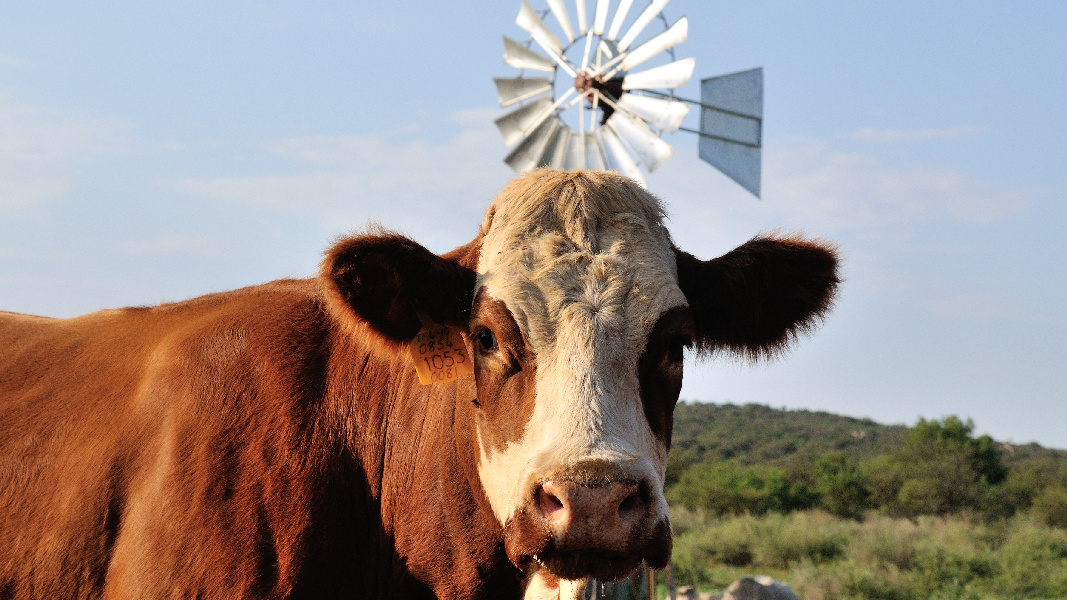 Simmentaler and windmill