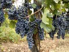 uva-casavecchia-pontelatone