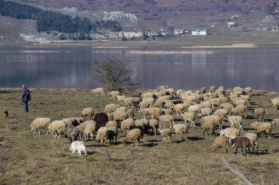 Gregge al pascolo sul Lago Matese
