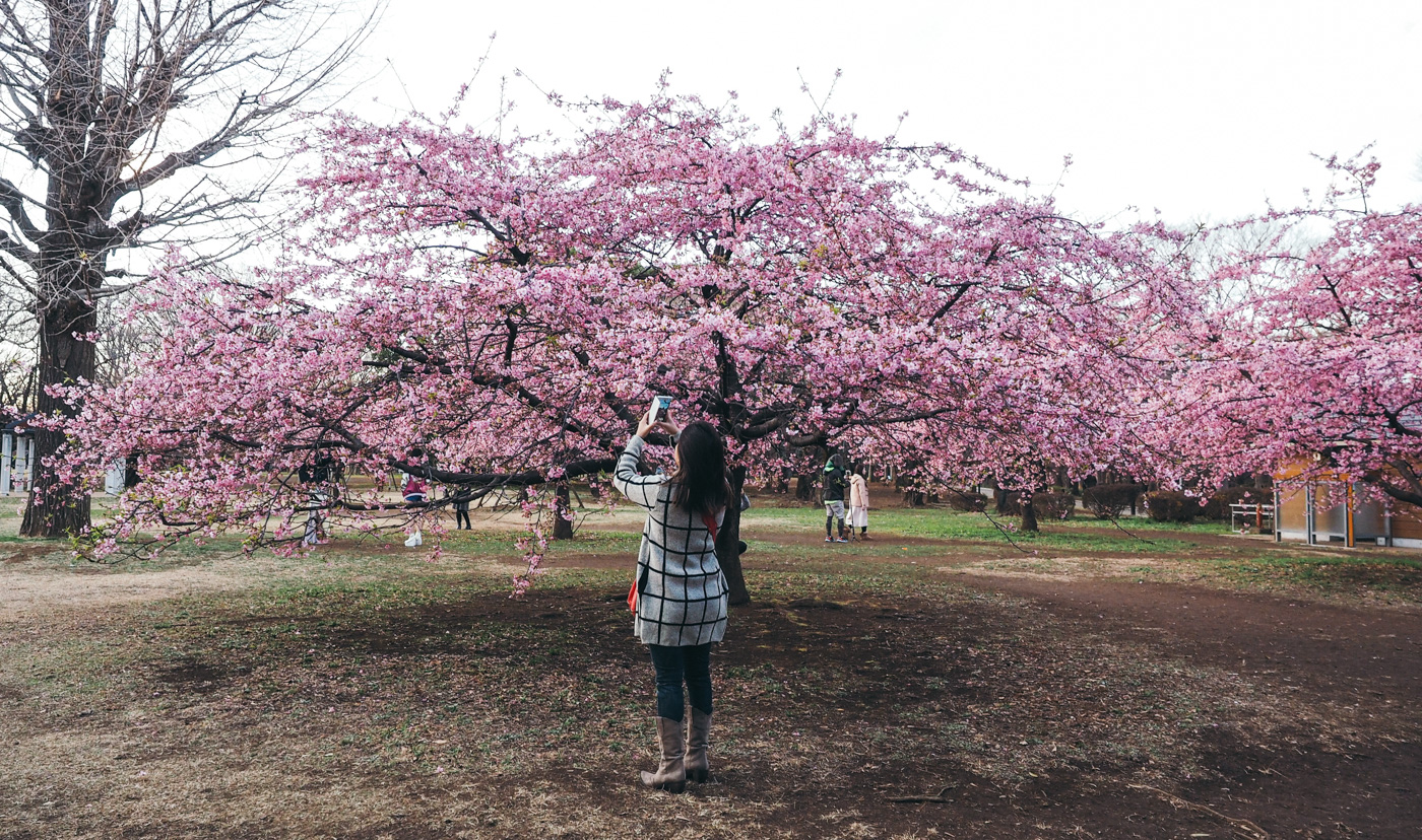 Yoyogi Park Plum Blossom