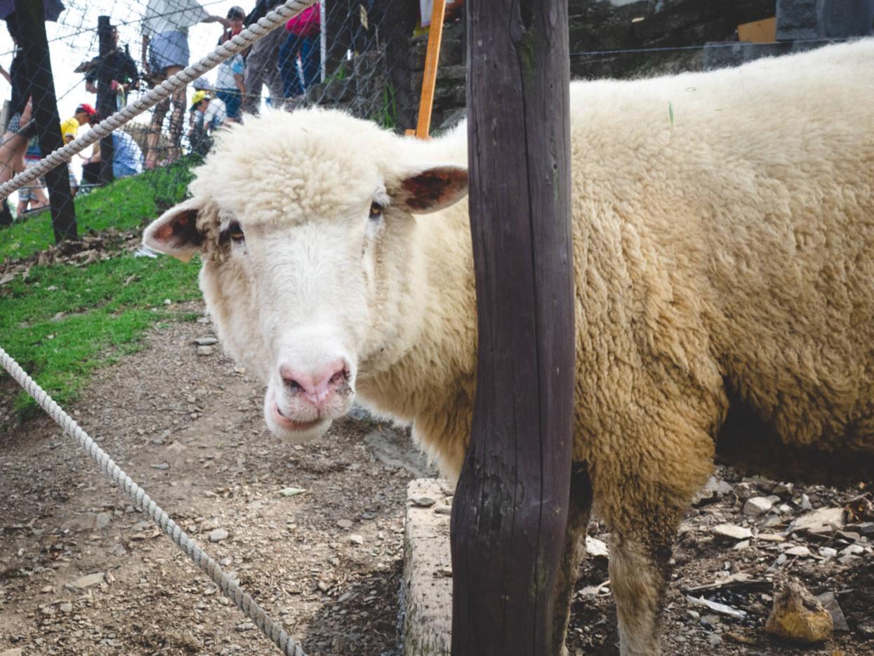 Qingjing Farm, Sheep