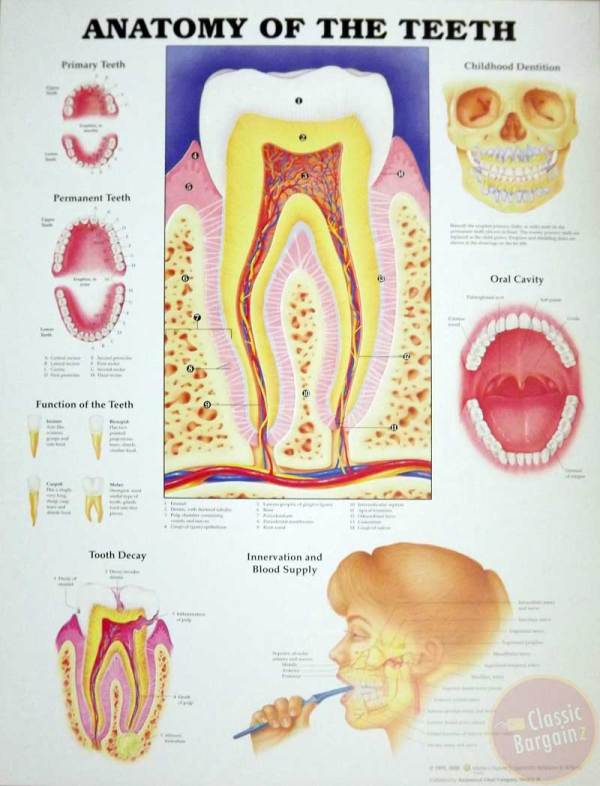 Pin Imageoftoothanatomy on Pinterest