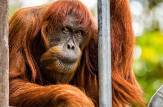 Puan, 62, was given to Perth Zoo in 1968