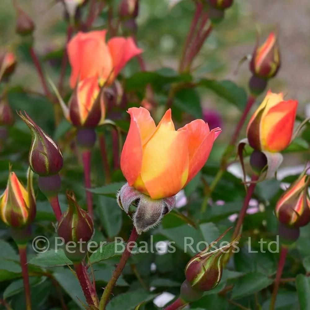 bella rosa patio shrub rose