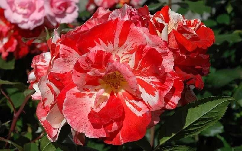 floribunda roses cluster flowering