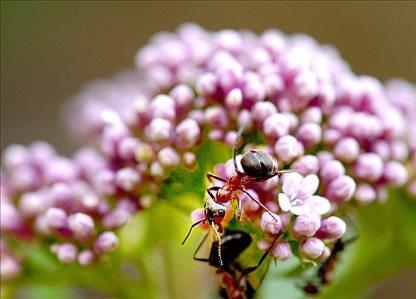 Eupatoire et fourmi