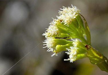 Grand pétasite en début de floraison