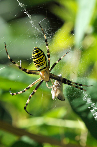 araignée argiope femelle