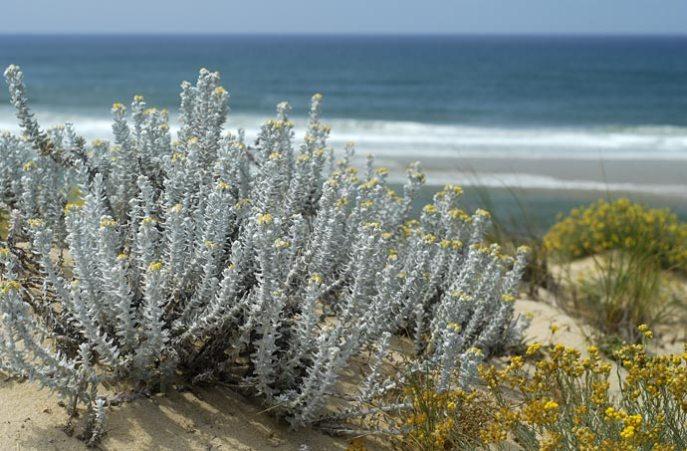 Les colonies de diotis maritimes veillent sur les flancs de la dune