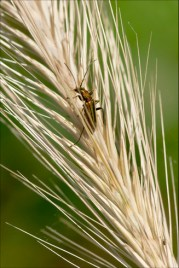 Insecte Chrysanthia