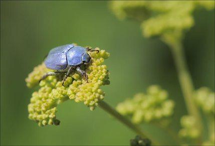 Hoplie bleue mâle. La femelle est marron.