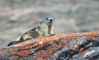 marmotte male