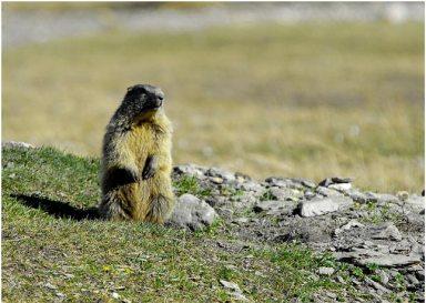 marmotte dressée