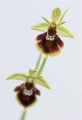 Ophrys hybride mouche-arignée 2