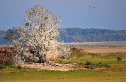 arbres blancs au lac du Der