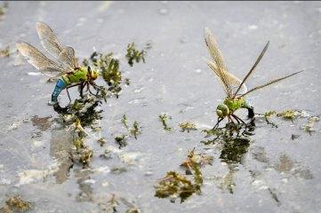 Aeschnes femelles pondant
