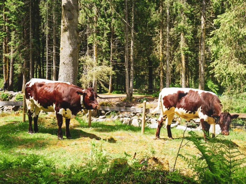 Kühe bei den Krimmler Wasserfällen