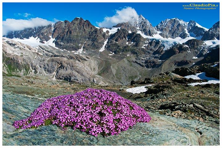 Report fiori alta quota alpine flowers fiori di montagna