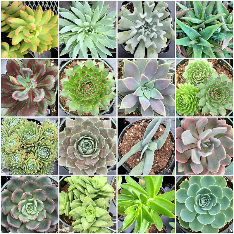 Holiday Succulent Gardens