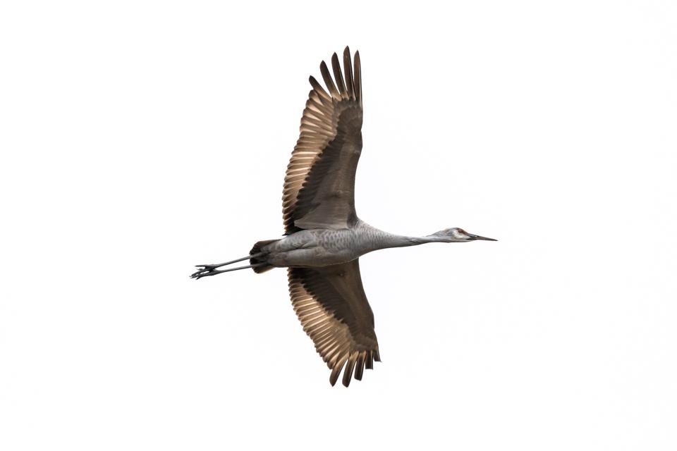Sandhill Crane at Wheeler National Wildlife Refuge