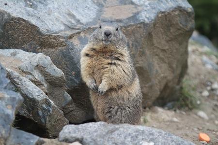 La marmotte habituée au photos !