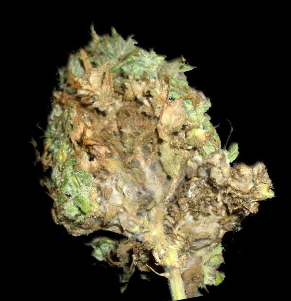 Medical Marijuana Growers Meet Your New Best Buds