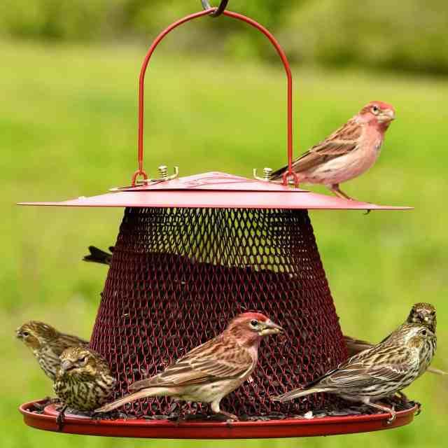 best-feeder-cardinal