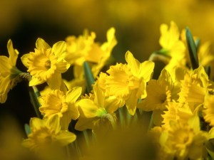 daffodils-flowers-yellow-flowerbed-blurred