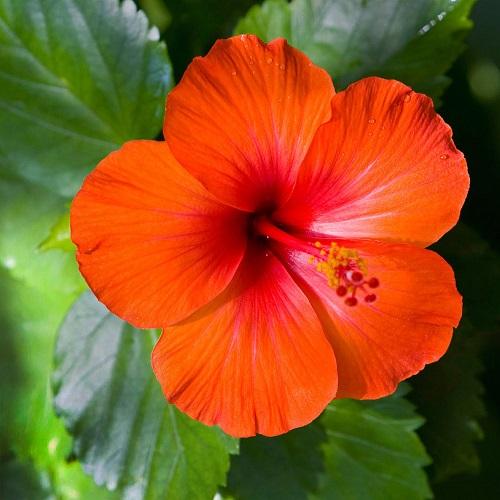 Hibiscus Flower Export From Nigeria How