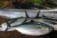 Fresh catch of Black Fin Tuna