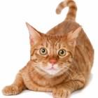 orange-cat-1