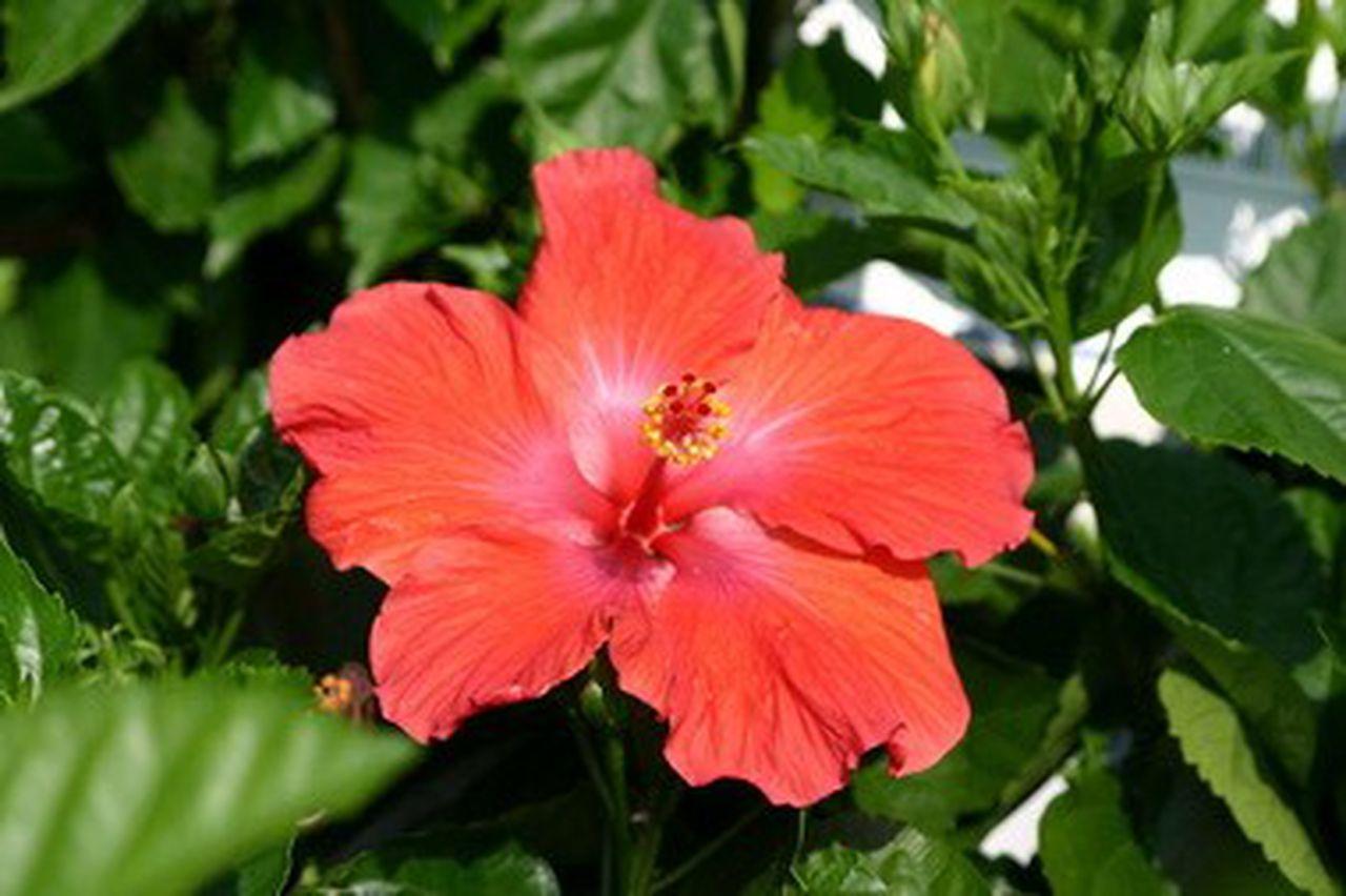 Hawaiian Flower Crossword