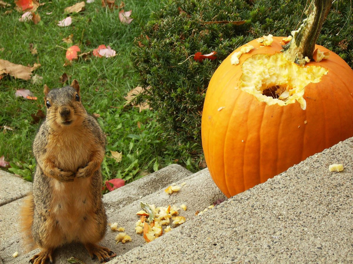 Keep squirrels from eating your pumpkins this Halloween - cleveland.com