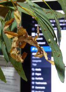 Spiny Leaf Insect