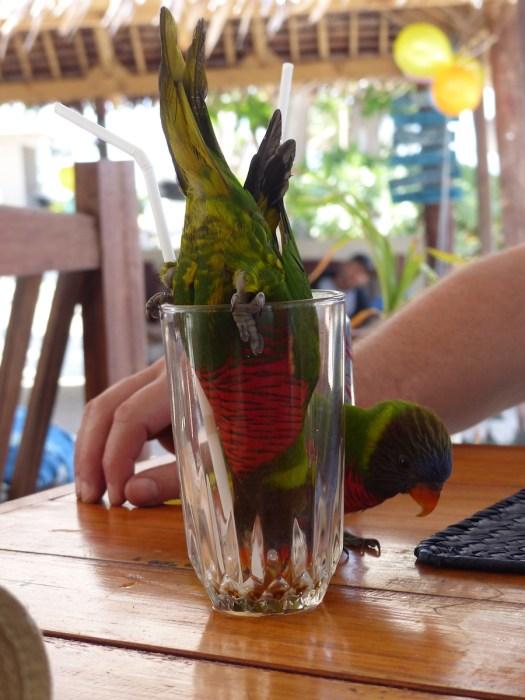 coconut lorikeet in glass