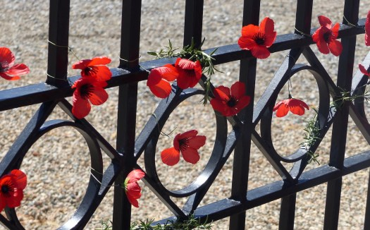 Poppies on gate