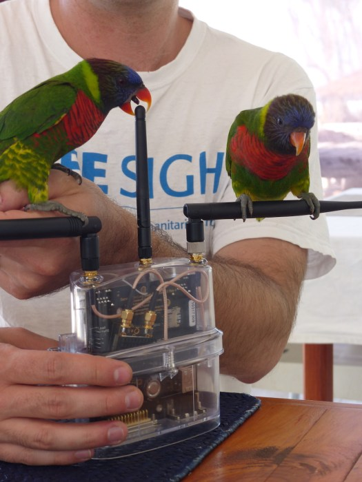 Coconut Lorikeets attacking a mesh extender